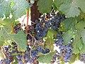 PikiWiki Israel 1371 A כרם ענבי מוסקט.jpg