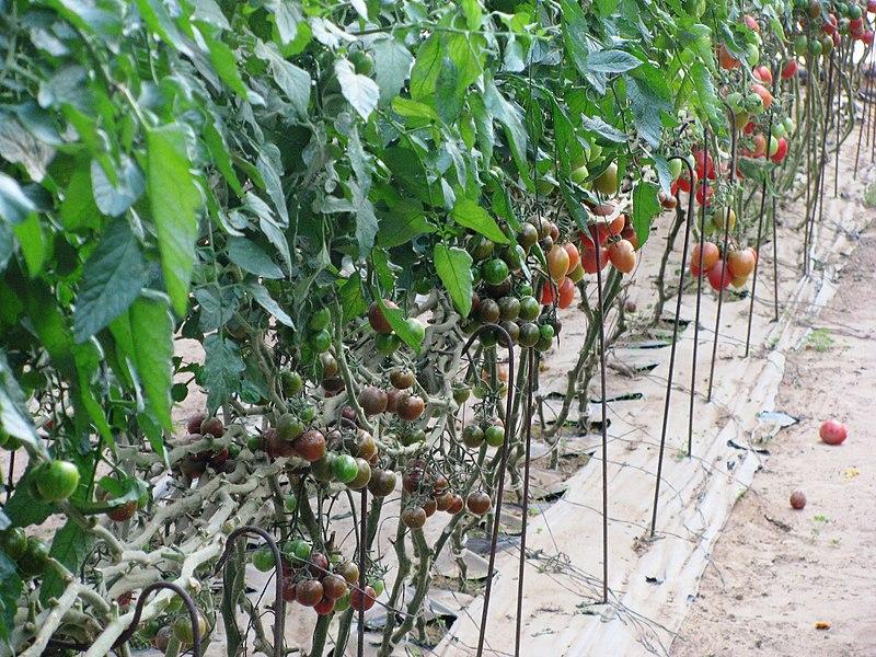 גידול פירות וירקות בנגב