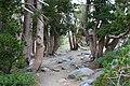 Pinus albicaulis Iron MountainCA2.jpg