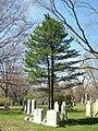 Pinus cembra, Mount Auburn Cemetery.JPG