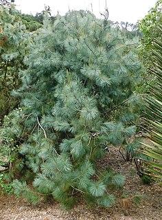<i>Pinus maximartinezii</i> Species of conifer