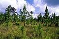 Pinus palustris regeneration USDAFS.jpg