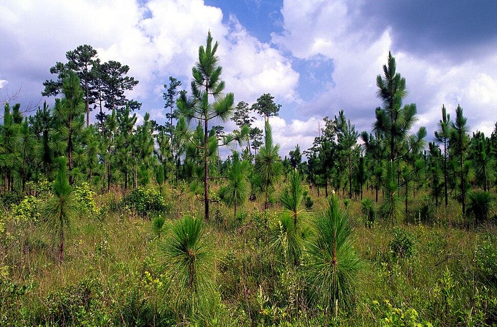 Pinus palustris regeneration USDAFS
