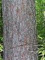 Pinus resinosa 4-jgreenlee (5098107716).jpg