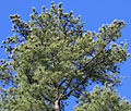 Pinus taeda loblolly top with cones.jpg