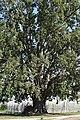 Pioppo canescente (Berra) 8.jpg