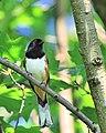 Pipilo erythrophthalmus -Howard County, Maryland, USA -male-8 (2).jpg