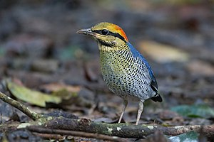 Pitta - The blue pitta is sexually dimorphic, the bright plumage of this bird means it is a male