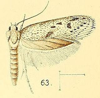 <i>Holcocera</i> genus of insects