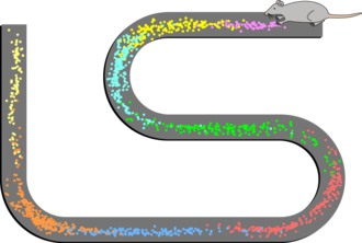 Place cell - Spatial firing patterns of 8 place cells recorded from the CA1 layer of a rat. The rat ran back and forth along an elevated track, stopping at each end to eat a small food reward. Dots indicate positions where action potentials were recorded, with color indicating which neuron emitted that action potential.
