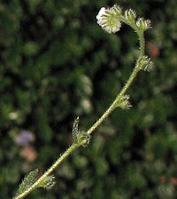 Plagiobothryscollinus.jpg