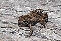 Plains Froglet (Crinia parinsignifera) (8612421319).jpg