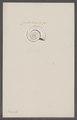 Planites spec. - - Print - Iconographia Zoologica - Special Collections University of Amsterdam - UBAINV0274 091 01 0059.tif