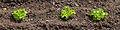 Plantación de leitugas na Senra.jpg
