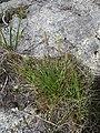 Plantago maritima plant (19).jpg