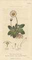 Plate 19 Bellis Perennis - Conversations on Botany-1st edition.tiff