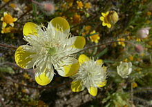 Platystemon californicus, Shell Creek Road.jpg