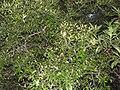 Pleurostylia opposita-2-chemungi-kerala-India.jpg