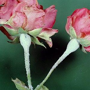 Podosphaera pannosa - Podosphaera pannosa on Rosa sp.