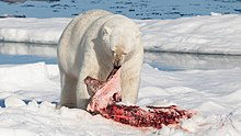 Polar bear (Ursus maritimus) with its prey.jpg