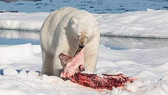 Predation - Solitary predator: A polar bear feeds on a bearded seal it has killed.