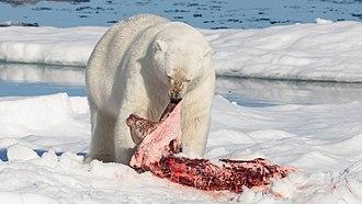 Predation - Solitary predator: A polar bear feeds on a bearded seal it has killed.