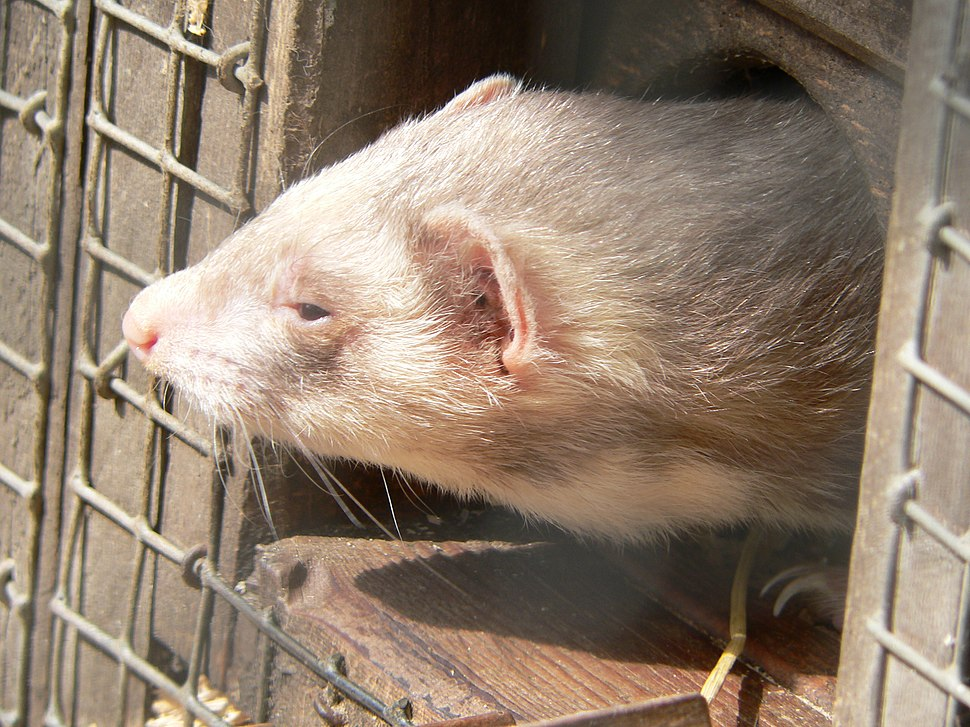 Polecat in the light