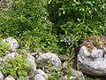 Polemonium caeruleum subsp. himalayanum (7839445618).jpg