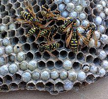 Paper Wasp Wikipedia