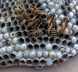 Paper wasp - Paper wasps on part of a large nest, in California