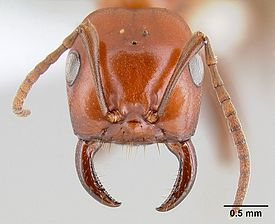 Polyergus breviceps casent0106048 head 1.jpg