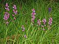 Polygalaceae - Polygala vulgaris-3.JPG