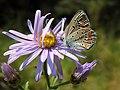 Polyommatus thersites (16467611145).jpg