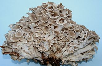 Polyporus umbellatus - This fungus has many branched stalks