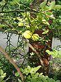 Poncirus trifoliata HabitusFruitsLeaves BotGardBln0906.JPG