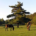 Ponies grazing on Half Moon Common, New Forest - geograph.org.uk - 441705.jpg