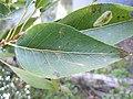 Populus angustifolia × balsamifera (5001207651).jpg