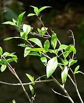 Populus angustifolia 1.jpg