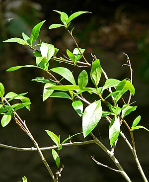 Populus angustifolia - Image: Populus angustifolia 1