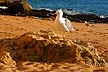 Portugal - Algarve - Carvoeiro - seagull at sunset (25562148520).jpg