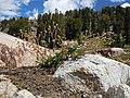 Potentilla diversifolia (5066466536).jpg