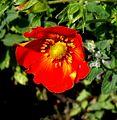 Potentilla fruticosa 001.jpg
