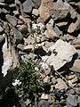 Pritzelago alpina 004.jpg