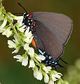 Probably Atlides halesus Great Purple Hairstreak New Mexico PP.JPG