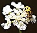 Propylea quatuordecimpunctata? (4711824633).jpg