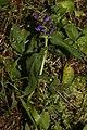 Prunella vulgaris 3282.JPG
