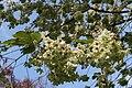 Prunus Serrulata 'Ukon' - Celles (Hainaut) 2.JPG