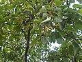 Prunus avium - UK 10.jpg
