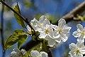 Prunus avium subsp. duracina Blüten 20150423 01.JPG