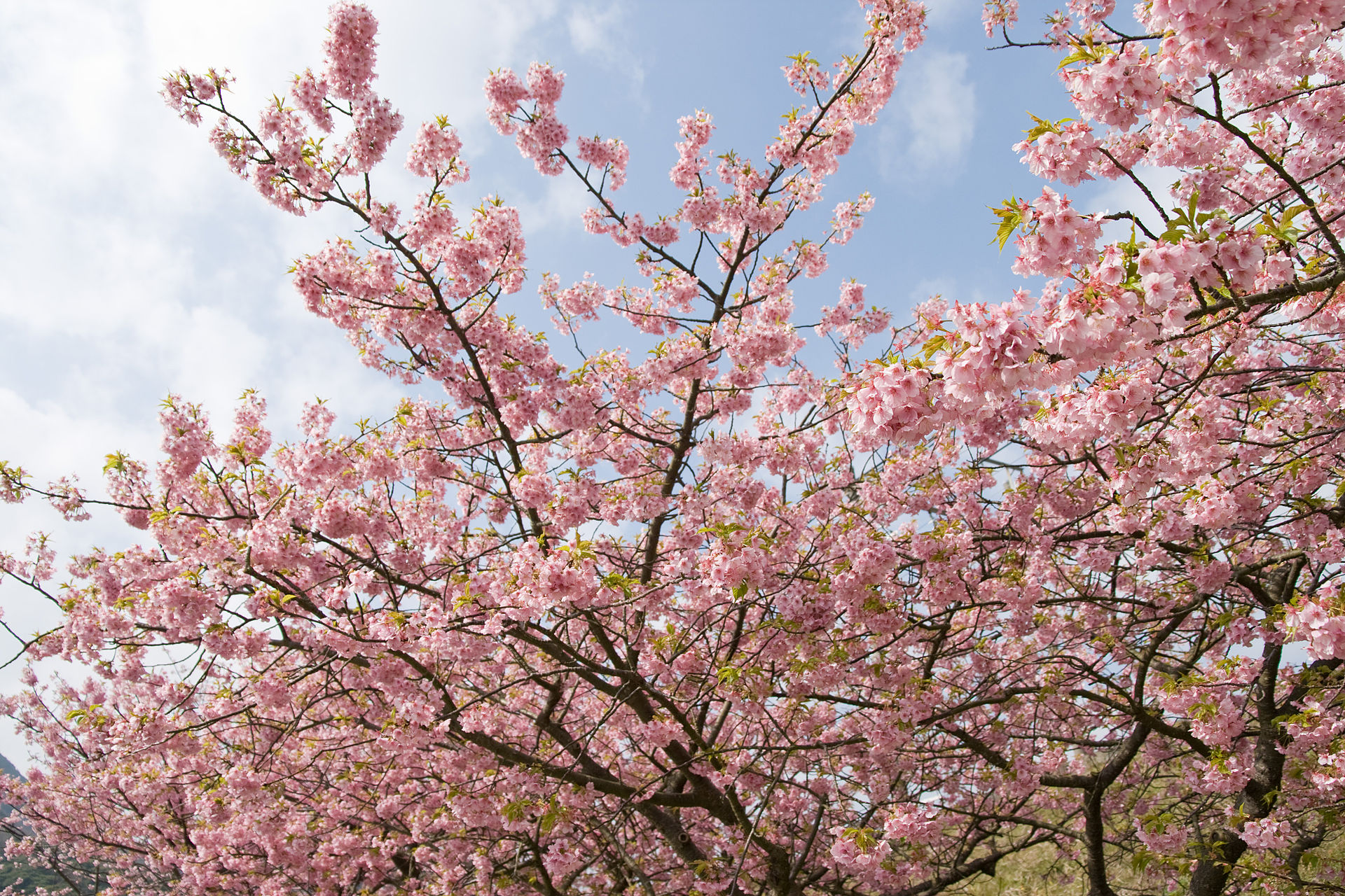 https://upload.wikimedia.org/wikipedia/commons/thumb/5/5e/Prunus_lannesiana_cv._Kawazu-zakura_05.jpg/1920px-Prunus_lannesiana_cv._Kawazu-zakura_05.jpg